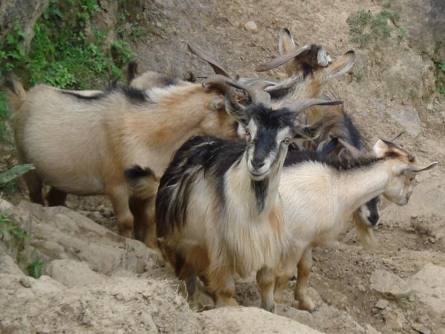 qq原始动物头像羊